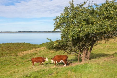 Cows standing at an apple tree by the beach photo