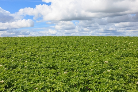 non cultivated: Flowering potato field in the summer