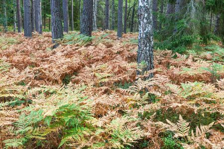boreal: Ferns in the boreal forest Stock Photo