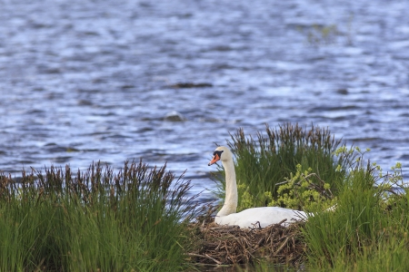 Mute Swan nests in the lake Stock Photo - 20534151