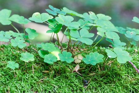 acetosella: Wood sorrel in the forest