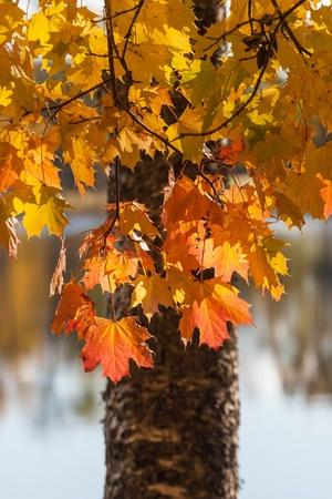 treetrunk: Maple tree in autumn Stock Photo