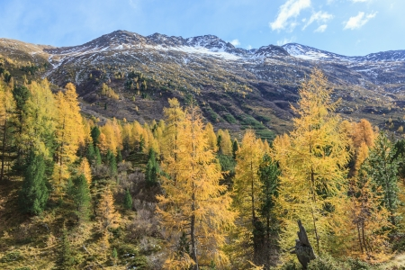 osttirol: Larch tree forest in the Alp landscape Stock Photo