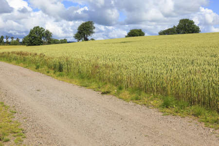 Rural landscape with corn field and a dirt road photo