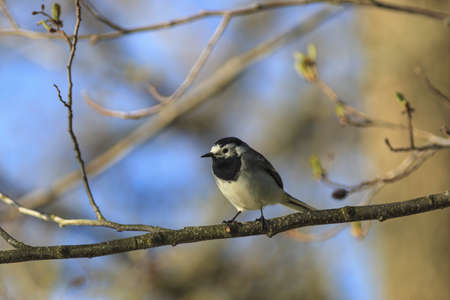 Wagtail sitting on a branch Stock Photo - 21054697