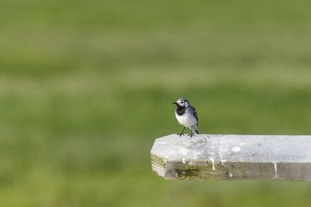 White Wagtail sitting on the railing photo