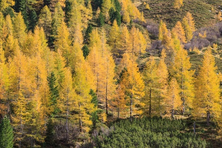 coniferous tree: Autumn Larch tree forest in the Alps