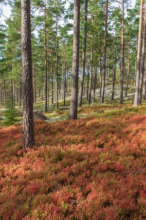 blueberry bushes: Pine forest with blueberry bushes in the autumn