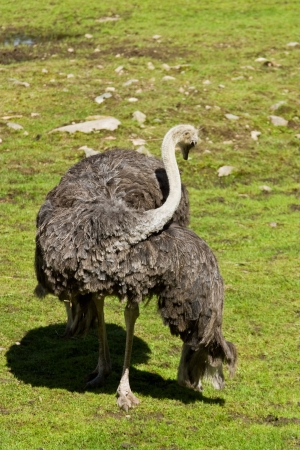 preens: the Ostrich preens its feathers