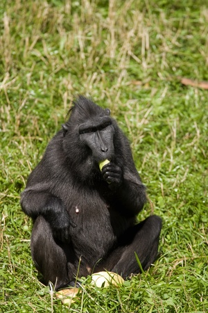 monkies: Macaca Nigra sitting in the grass and eating fruit Stock Photo