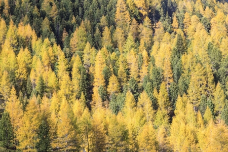 osttirol: Autumn Larch tree forest in the Alps