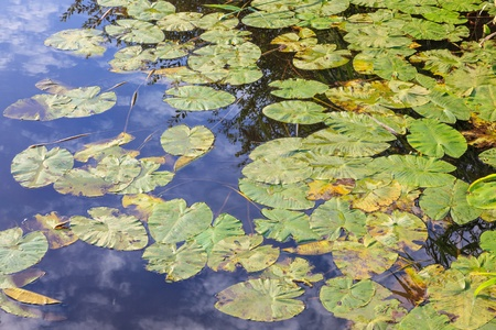 nymphaeaceae: Waterlily leaves floating in the water with reflections Stock Photo