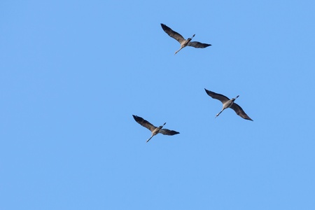 Cranes flying in the sky photo