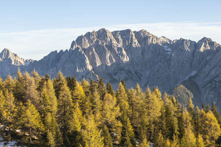 osttirol: Larch tree forest with mountains in the background