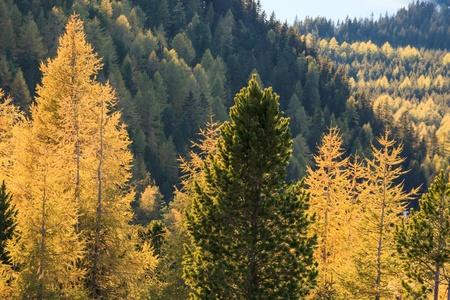 Automne dans la forêt de mélèze Banque d'images