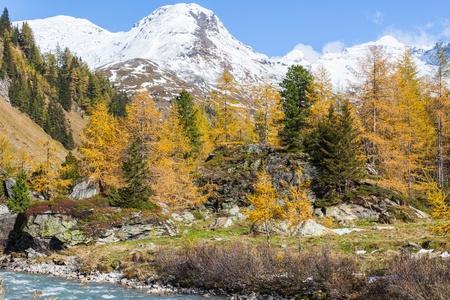 osttirol: Larch tree forest in autumn in a alp valley