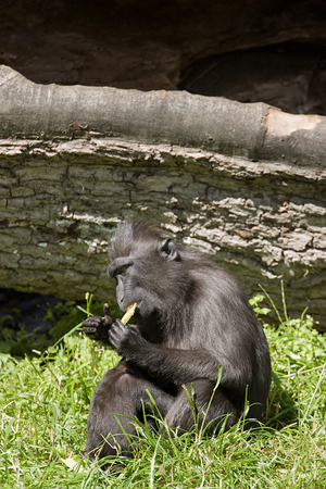 Macaca Nigra sitting in the grass and eating fruit photo
