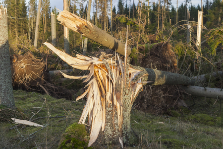 Storm damage in a forest  photo