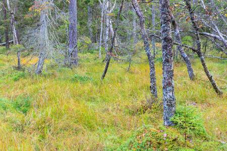taiga: Taiga forest