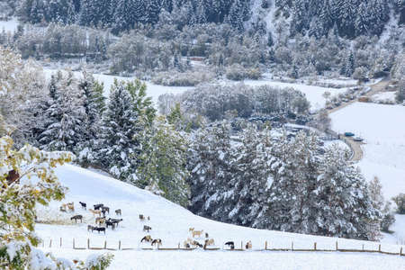 osttirol: Flock of sheep in the field of new fallen snow