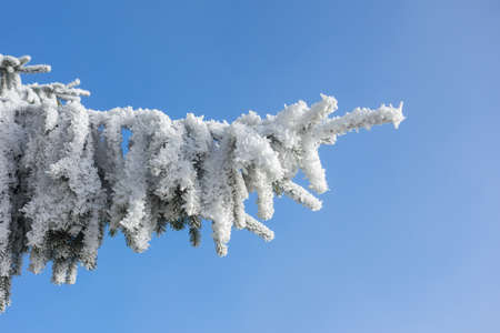 흰 서리: Spruce branch with hoarfrost in winter 스톡 사진