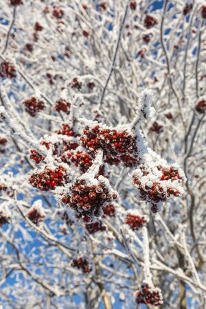 Rowanberry on hoarfrost covered branches photo