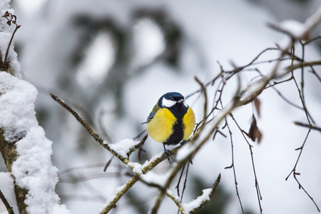 Great tit on a branch in winter forest photo