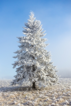 hoarfrost: Hoarfrost covered spruce tree on a meadow