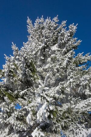 hoarfrost: Spruce branch with hoarfrost in winter Stock Photo