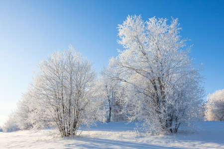 hoarfrost: Winter trees with hoarfrost covered trees