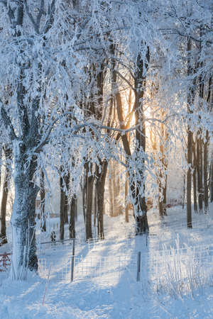 Sunshine behind  frosted trees in woods photo