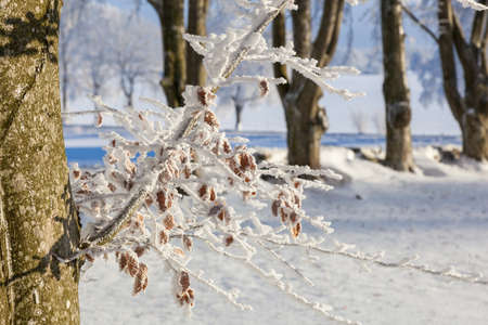 흰 서리: Beech tree branch with hoarfrost