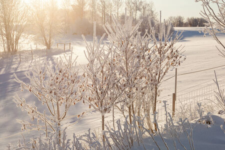 hoarfrost: Hoarfrost covered trees in backlight wintry landscape