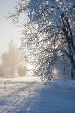 Winter trees with hoarfrost in backlit photo