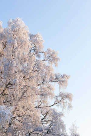 Birch trees with harefrost at sunset photo