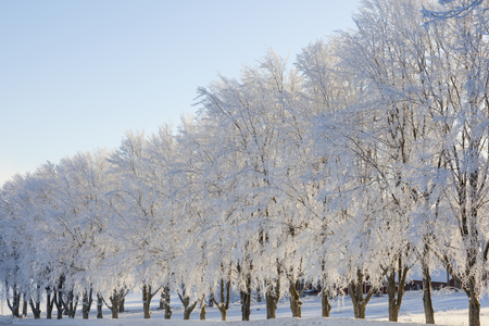 흰 서리: Sunlight tree row with hoarfrost