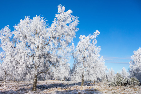 Hoarfrost covered trees in winter grove Stock Photo