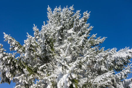 coniferous tree: Spruce trees with hoarfrost in winter Stock Photo