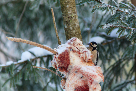 treetrunk: Great Spotted Woodpecker at the bird feeding with meat on winter Stock Photo