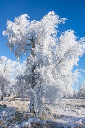 hoarfrost: Hoarfrost covered birch tree Stock Photo