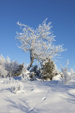 흰 서리: Hoarfrost covered tree on the hill 스톡 사진