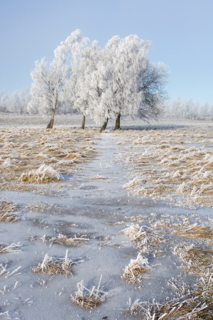 hoarfrost: Hoarfrost covered trees in a grove Stock Photo