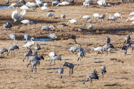 Cranes and whooper swans rest on the field photo