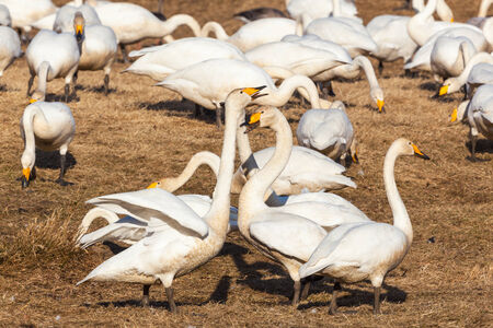 Whooper swans on a field in spring photo