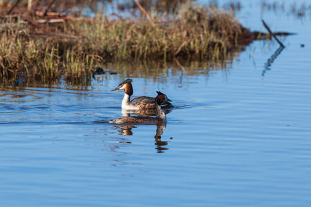 Great Crested Grebe pair swimming in the lake photo