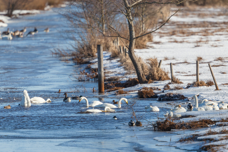 Whooper swans and geese in the river photo