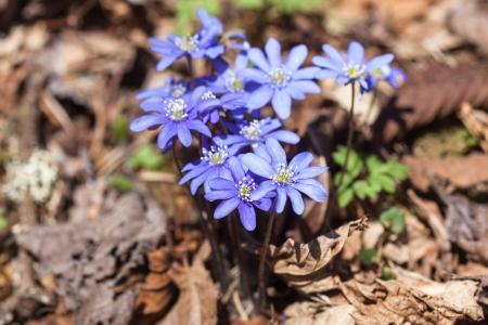 hepatica nobilis: Blossoming hepatica flower in early spring