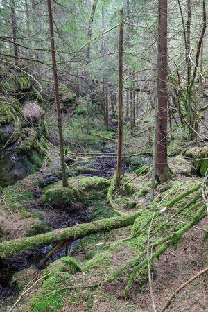 taiga: Old taiga growth forest landscape