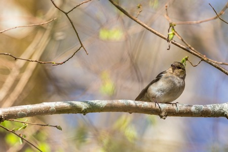 non urban 1: Common Chaffinch in spring woods