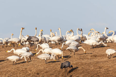 Whooper swans grazing on the meadow photo